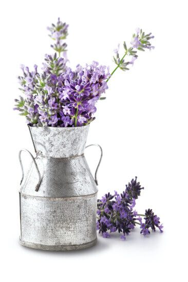 Lavander Plants in Medal Tin Vase - Total Vitality Centre Burnaby BC and Vancouver